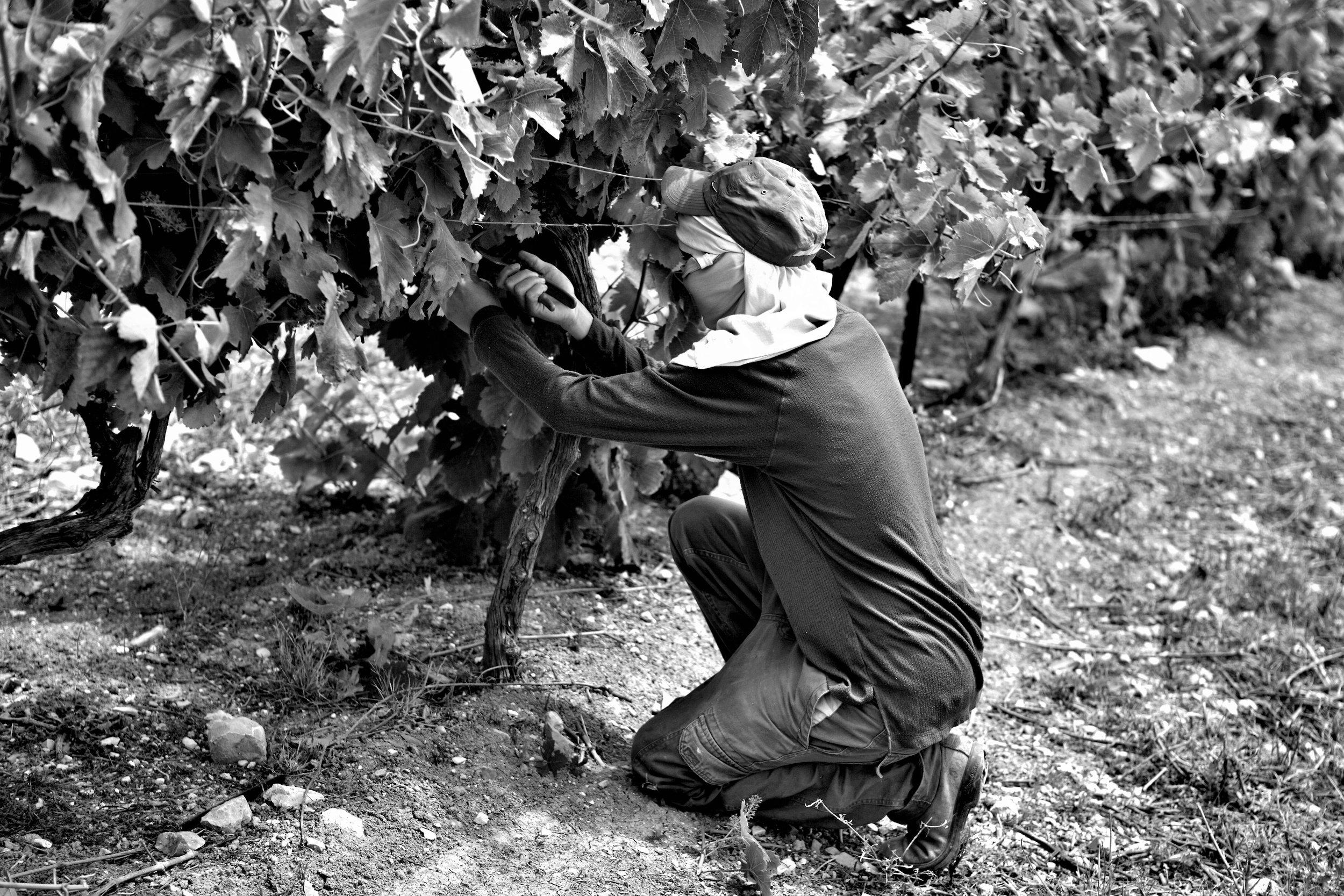 Viel Handarbeit: Auch in Israel passiert ein Grossteil der Arbeiten im Rebbau von Hand.