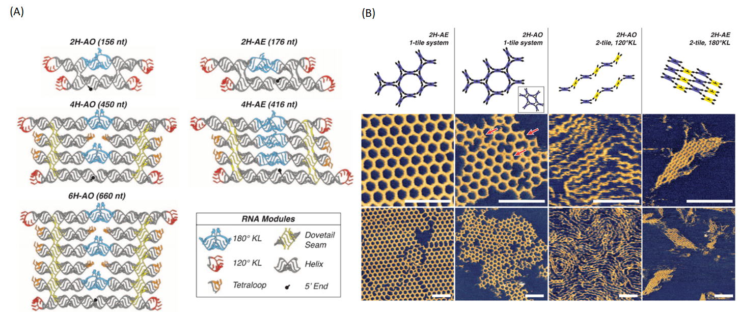 Figure 1.  (A) Illustration of RNA origami designs. (B) AFM images of RNA lattices made of RNA origami. Images obtained from Geary et. al., 2014, (1)