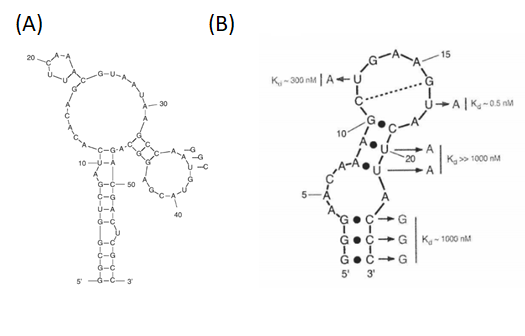 Figure 12  The 2D folding simulation of thrombin RNA aptamers. (A) RNAR9D-14T,and (B) Toggle-25 aptamer (3,4)