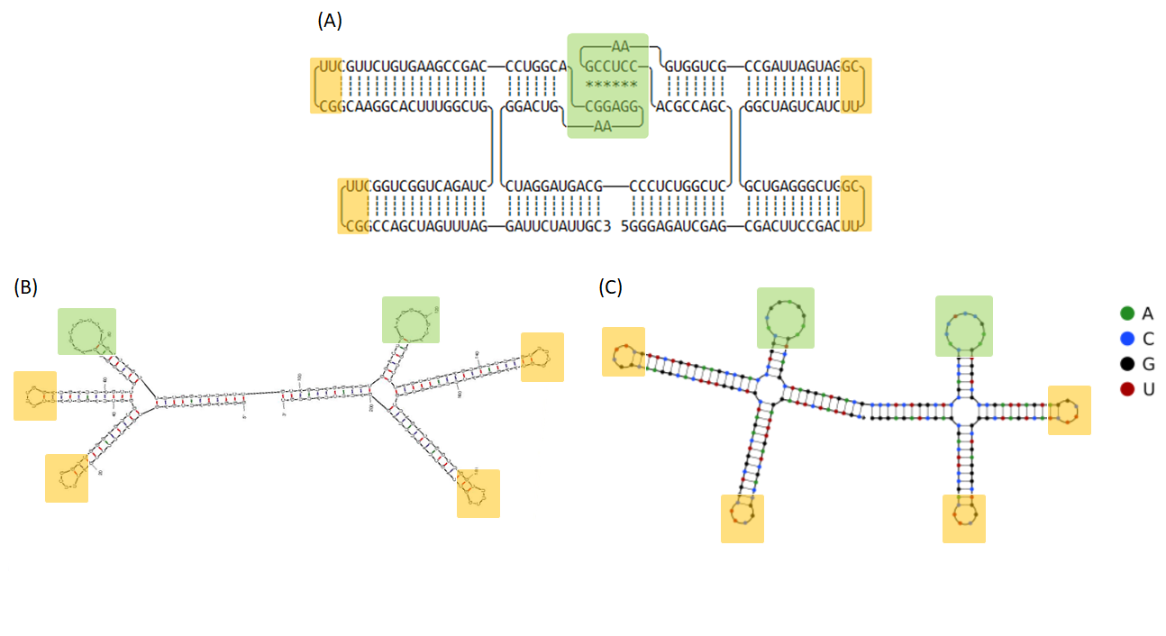 Figure 15  (A) The 2D model of 2HO-RNA-NNNN and computational simulation of RNA folding analyzed by (B) mfold and (C) NUPACK. Tetra loops and kissing loop are indicated in yellow and green boxes, respectively.
