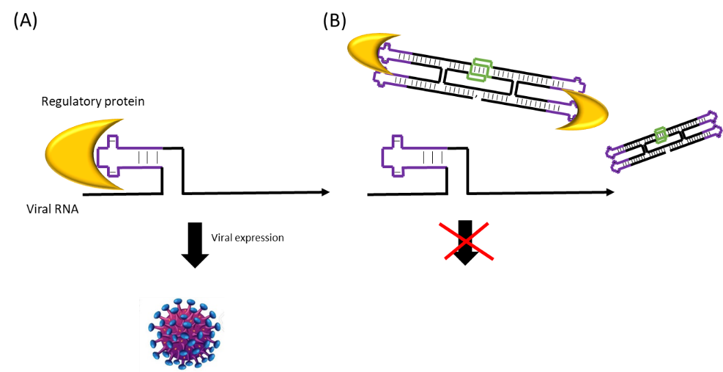 Figure 2  (A) Viral expression and (B) RNA origami disruption of viral expression