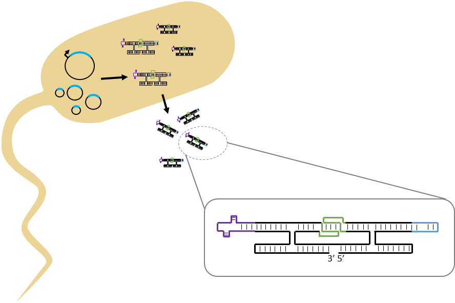 Figure   2  illustration of RNA origami production by  in vivo  expression.