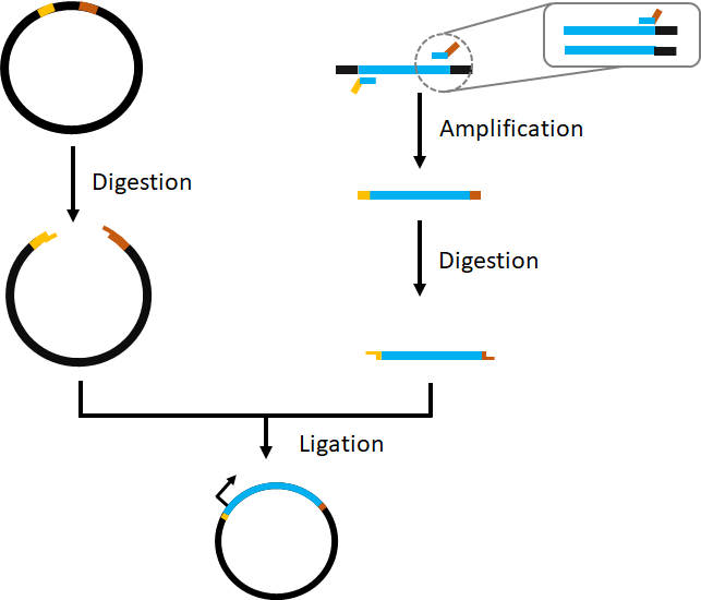 Figure 3  Illustration of cloning within a plasmid vector by digestion and ligation.