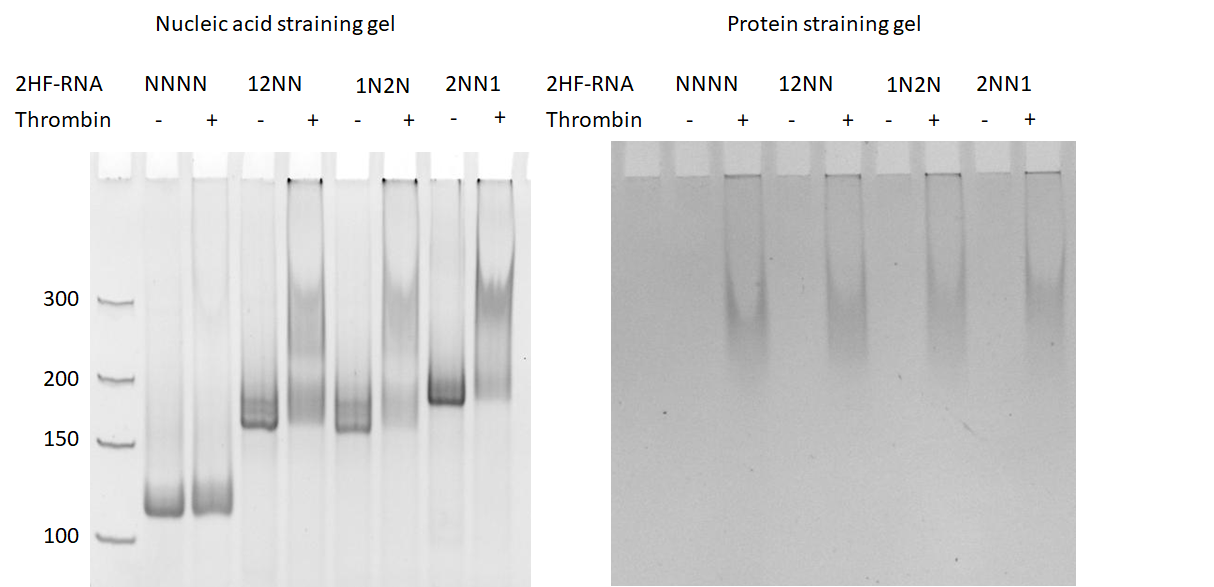 Figure 2  Polyacrylamide gel electrophoresis of RNA origami-thrombin complex. (left) Nucleic acid stained gel and (right) protein-staining gel.