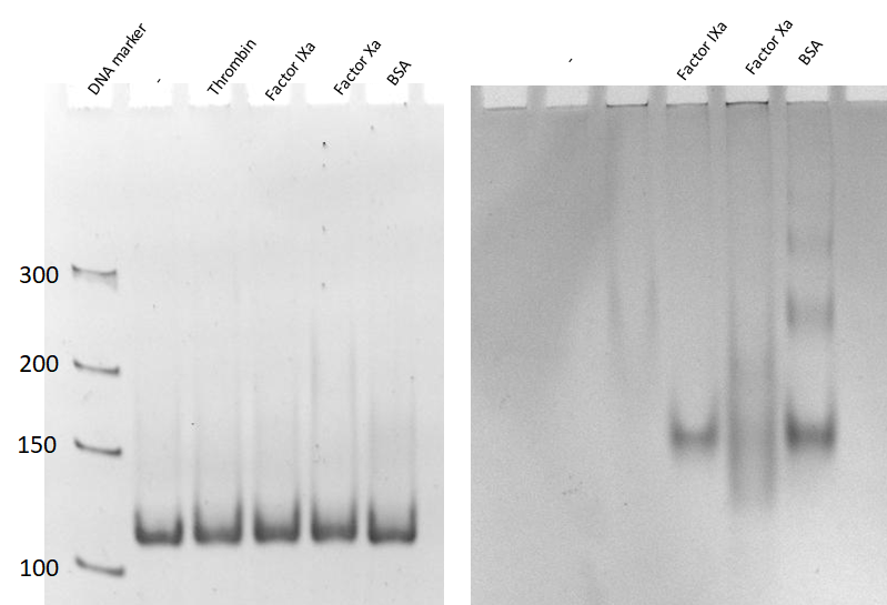 Figure 3  The specificity test of thrombin aptamers-containing RNA origami with four different protein by the gel electrophoresis mobility shift assay. Lane 1: DNA marker, Lane 2: 2HF-RNA-NNNN, Lane 3-6: 2HF-RNA-NNNN incubated with thrombin, factor IXa, factor Xa, and BSA, respectively. The left gel is the nucleic acid-stained gel, and the right gel is protein stained gel.