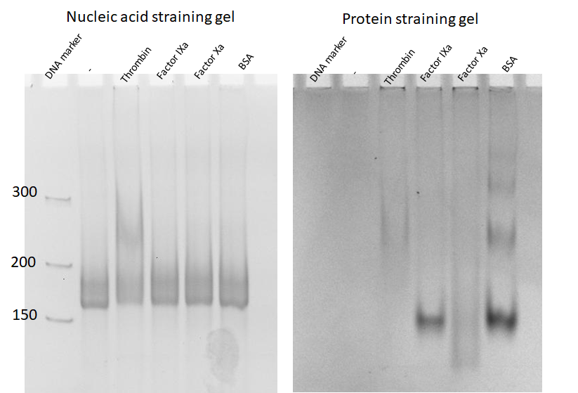Figure 5  The specificity test of thrombin aptamers-containing RNA origami with four different proteins. Lane 1: DNA marker, Lane 2: 2HF-RNA-1N2N, Lane 3-6: 2HF-RNA-1N2N incubated with thrombin, factor IXa, factor Xa, and BSA, respectively. The left gel is the nucleic acid-stained gel, and the right gel is protein stained gel.