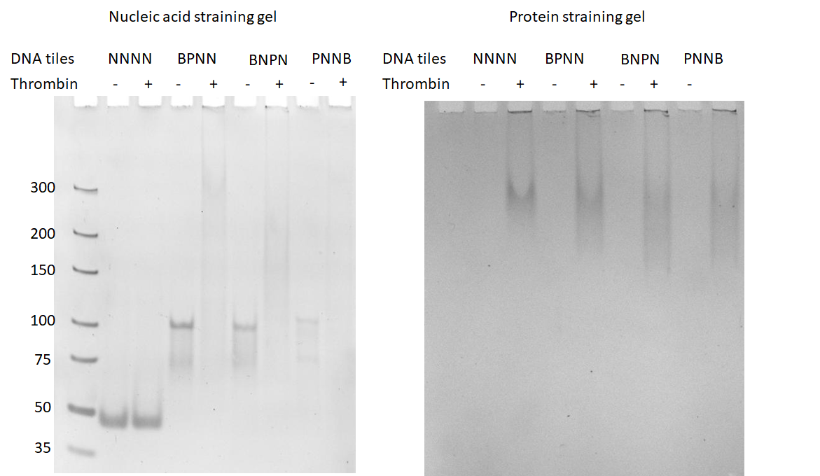 Figure 7  The binding study of thrombin DNA aptamers-containing DNA weave tiles with thrombin. The left gel is the nucleic acid-stained gel, and the right gel is the protein-staining gel.