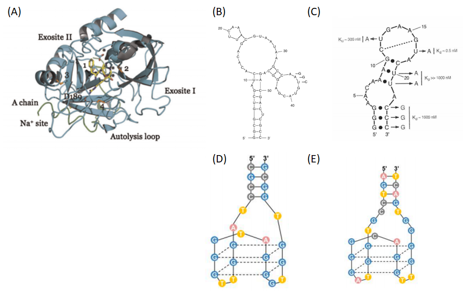 Figure 1  Structures of thrombin and thrombin-binding DNA/RNA aptamers. (A) 3D model of Thrombin (4). (B-E) Examples of DNA and RNA aptamers that used as anticoagulants by inhibition of thrombin activity. (B) RNAR9D-14T and (C) Toggle-25t RNA aptamers bind to exosite-I and exosite-II of thrombin. DNA aptamers called NU172 (also called apt P) and HD22 (also called apt B) bind to exosite-I and exosite-II of thrombin. (1-3)