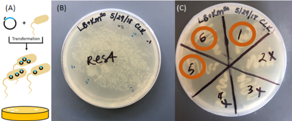 """Figure 7  Transformation of plasmid into competent E.coli cells. (A) The competent cells with plasmid are able to grow colonies on selective media that contains antibiotic. (B)  Single colony  selection (1-6) from first plate incubation. (C) Growth of colonies selected from previous plate. The sections marked with an """"x"""" did not show growth in liquid media in test tubes and were not used further."""