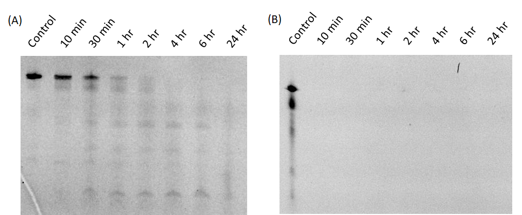 Figure 3  The stability test of modified (A) and non-modified RNA origami (B) treated with high concentration of RNase A (500 µg/ml). The samples were characterized by denaturing gel electrophoresis.
