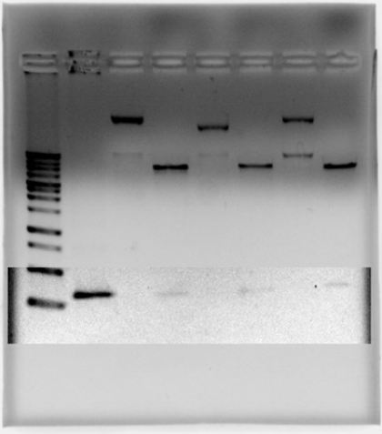 Figure 6    1% agarose gel used to test insert after plasmid digest. The faint bands show the insert (after contrast editing).
