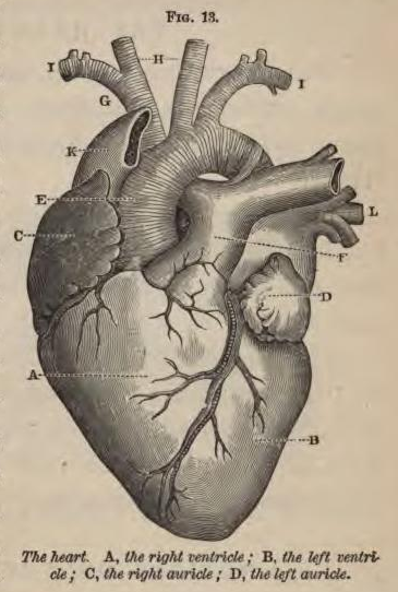 Physiology_for_Young_People_-_1884_-_Heart.png