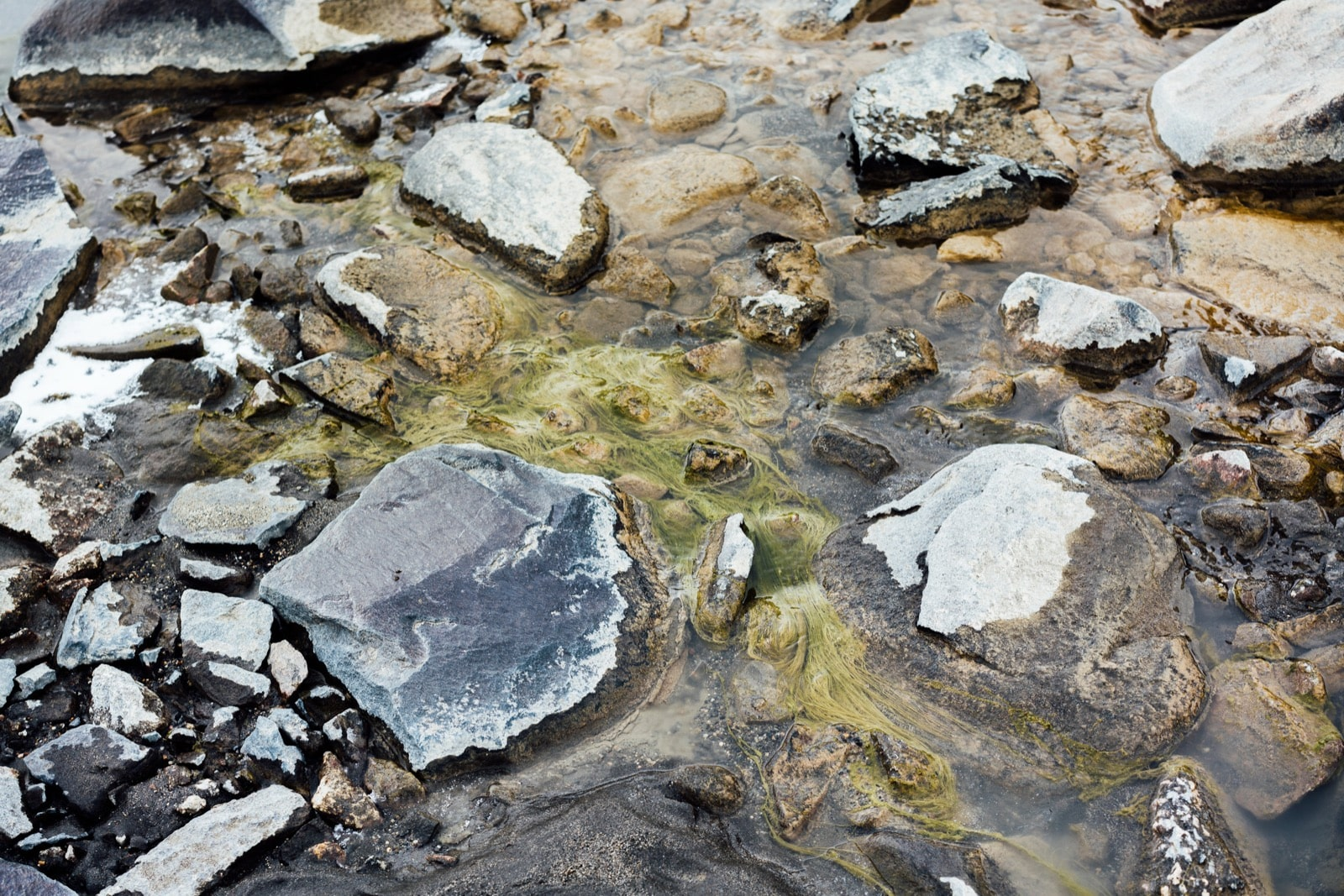 green filamentous algae piled up in shallow water over rocks and some frost