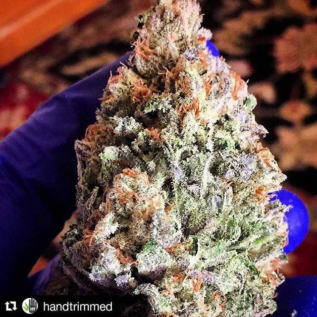 Beautiful bud from @handtrimmed @covertgenetics  A HandTrimmed beauty ・・・ #handtrimmed #trimtray #covertgrown #trimlife #weshouldsmoke #iwillmarrymary #growroom #growop #cannabiscommunity #cannabisclub #cannabisculture #weedsociety #weed420 #maryjane #weedwithoutlimits #high_larry_us #dankshots420 #dailycannabis #kusharmy #cleanmeds #fueledbythc #mannabuds #highlife #croptober #sativa #indica #commercialcannabis #prop215 #i502producer