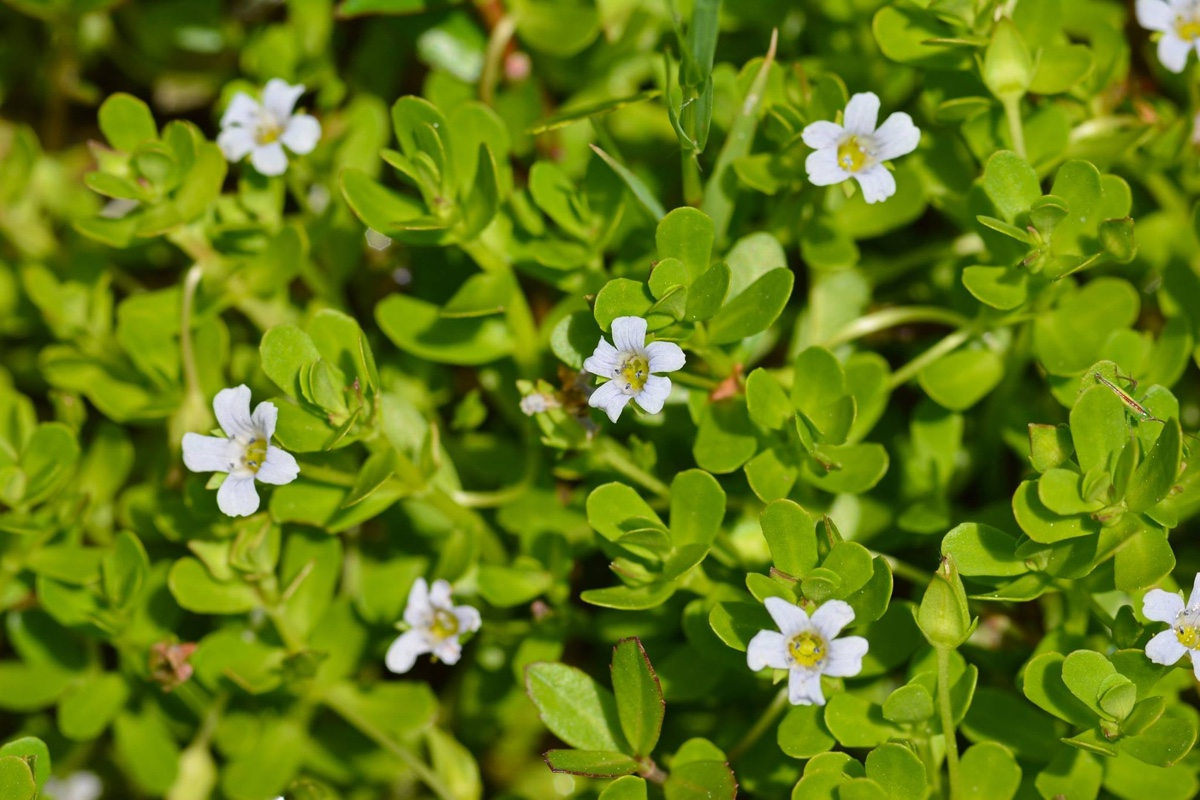 Bacopa Monnieri: The Herb For Biohacking Cognition And Memory