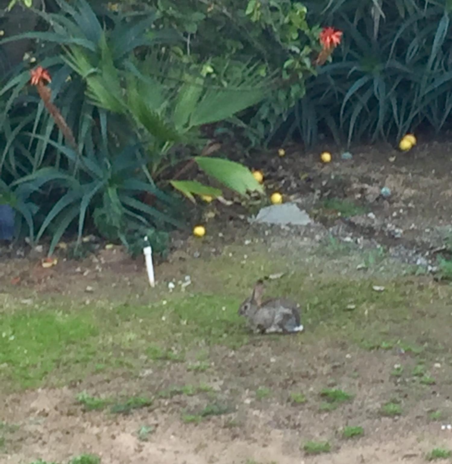 Another rabbit.