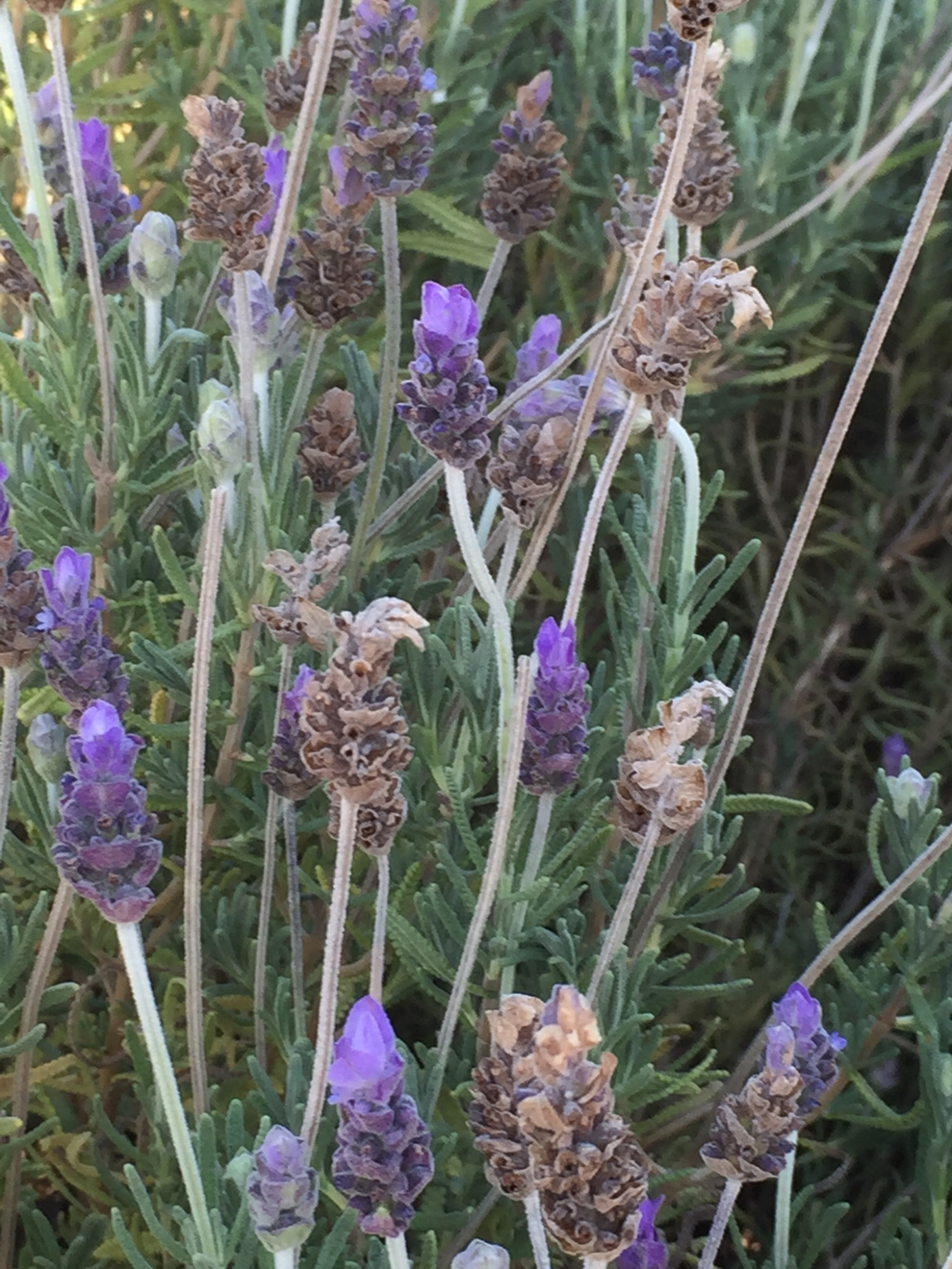 The bees love the lavendar.