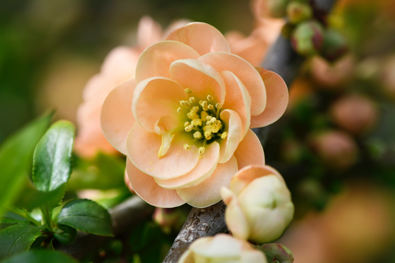 Japanese Quince 2.jpeg