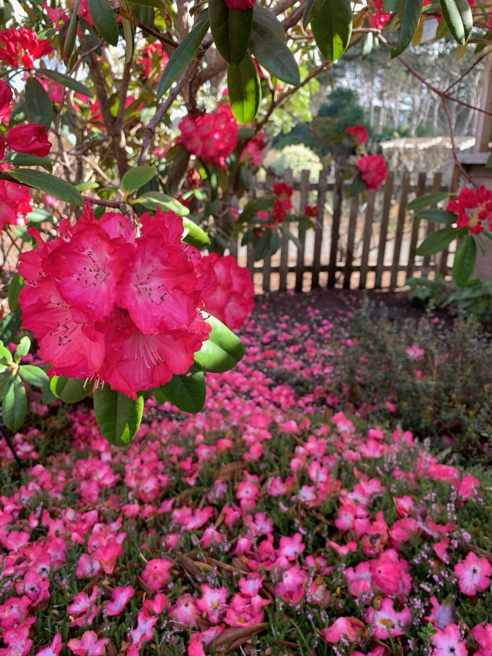 Botanical garden rhododendron and colorful ground cover. Photo by me.