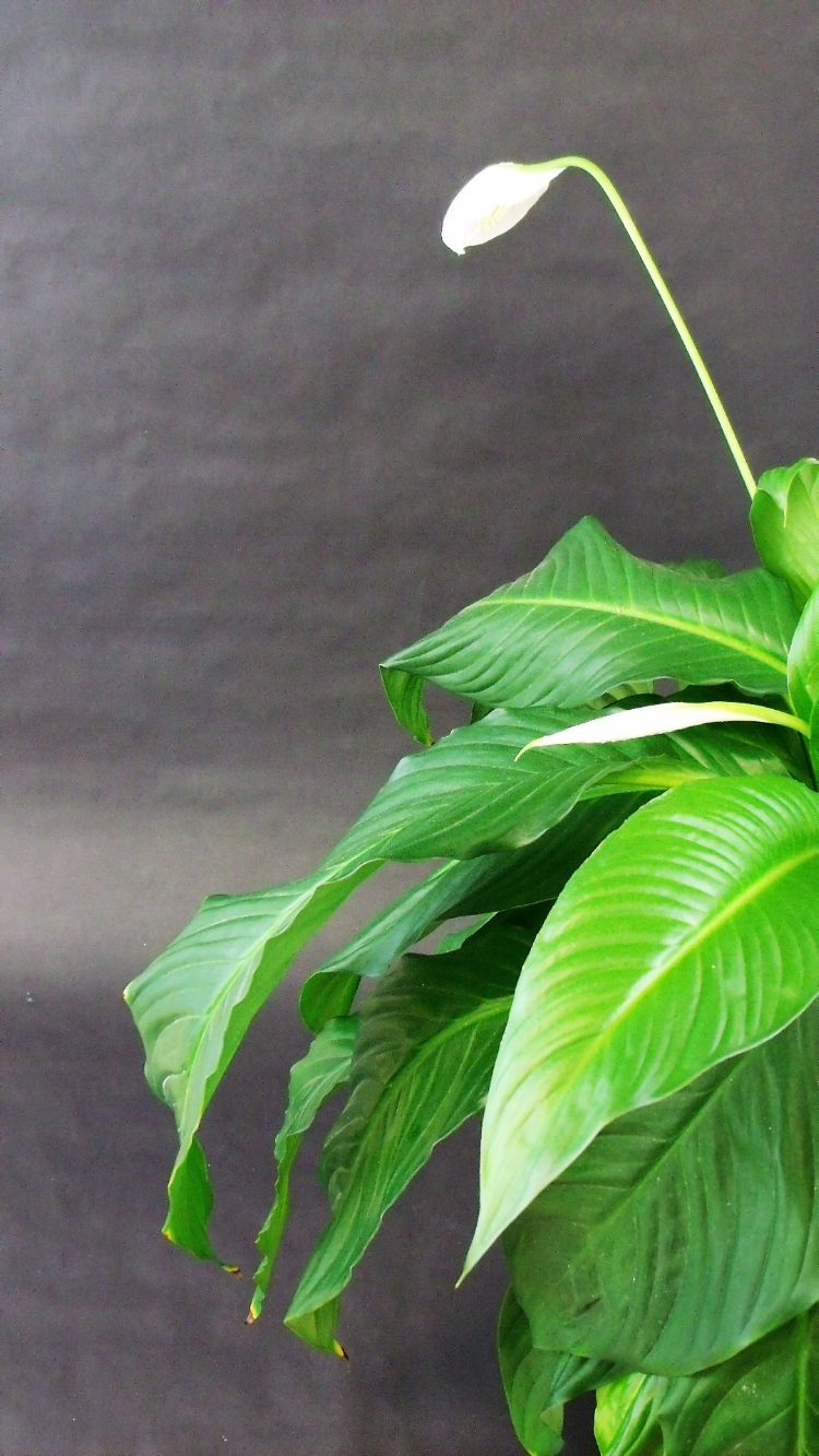 Peace lily - Spathiphyllum spp.