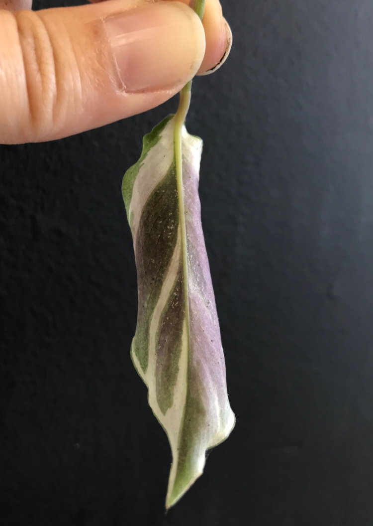 Spider mites - Lay eggs and bite the underside of leaves.