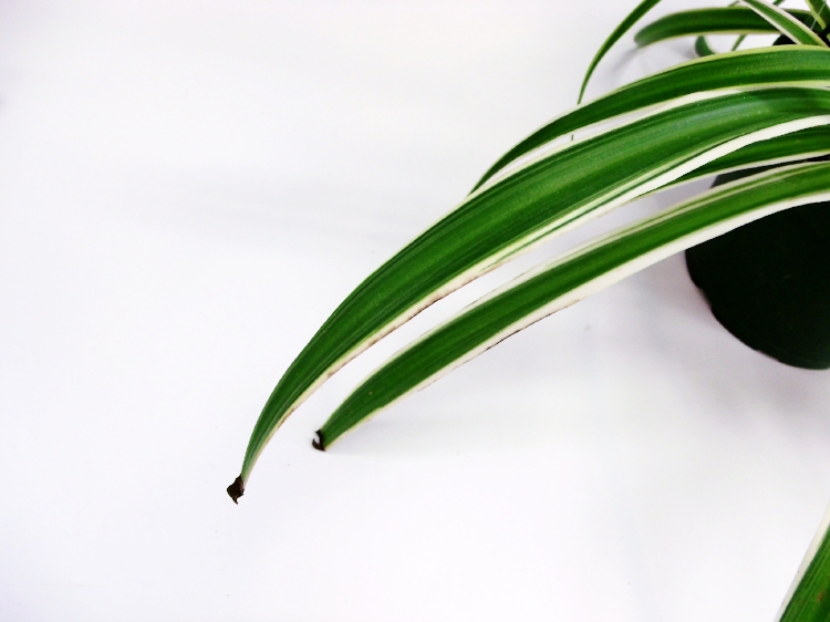 - Plants that are especially prone to tap water toxicity are spider plants, fiddles, and dracaena.