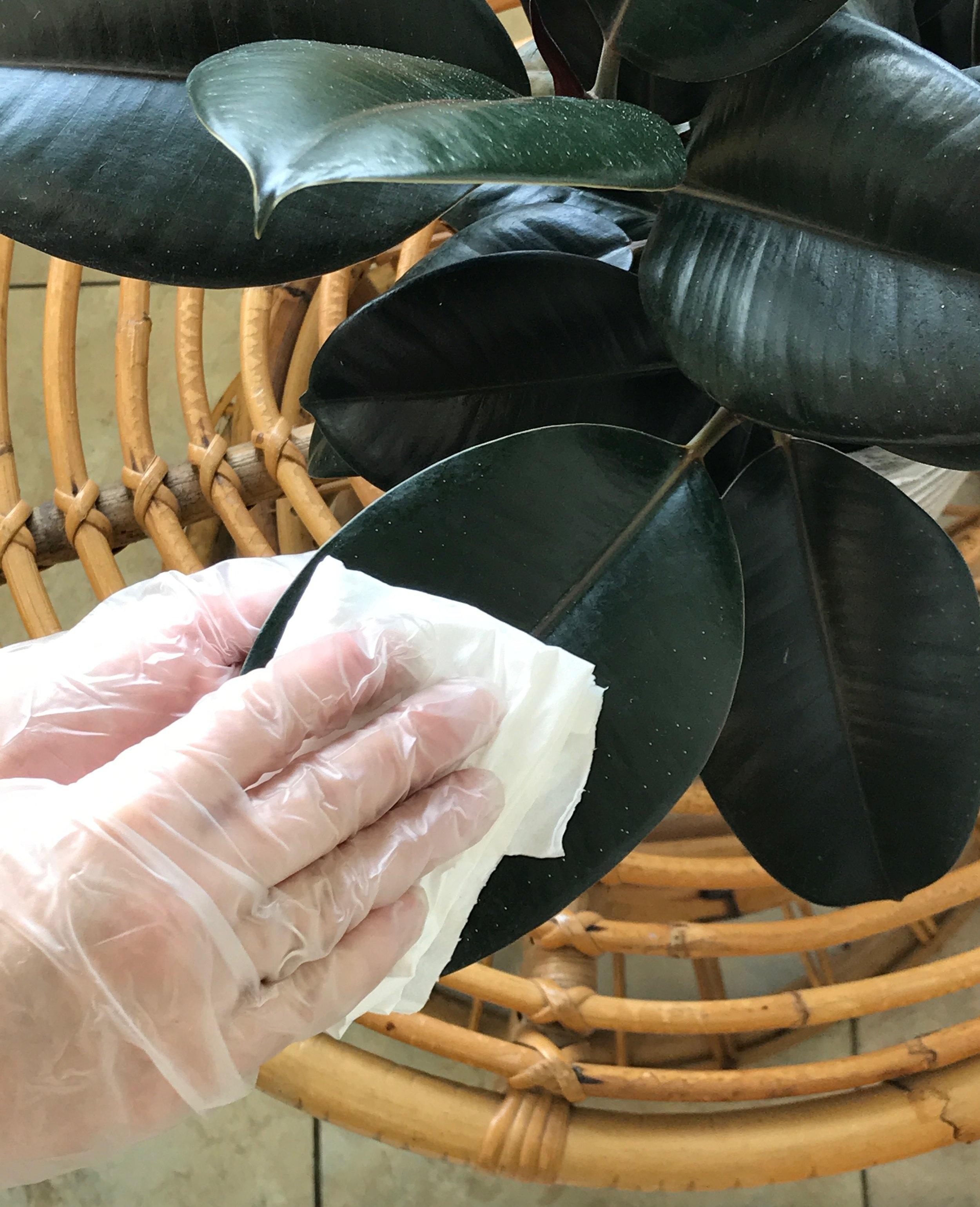 Dusty plants can't breathe - When dust collects on leaves, it blocks the plant's ability to perform photosynthesis. Wipe big leaf plants with a soft cloth or wet paper towel. Use a small paint brush or make up brush for fuzzy leaf plants.