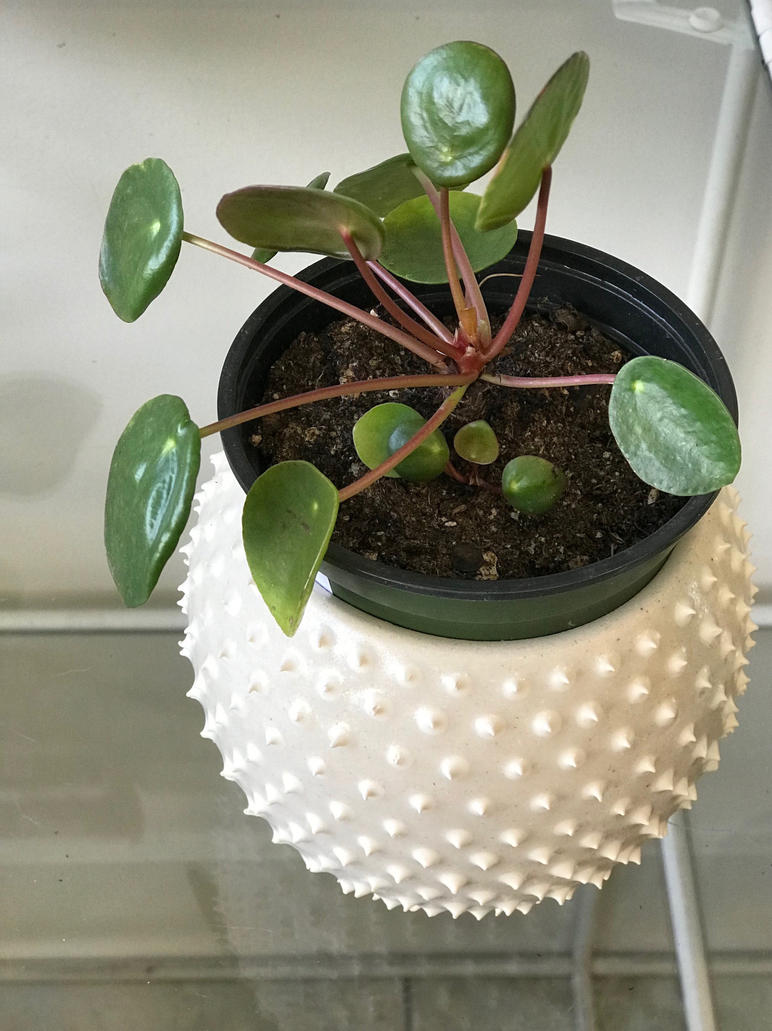 3. Pancake plant or Pilea peperomioides - Fun, bouncy and propagates new growth quickly. It's ready for a drink when it slowly goes limp.