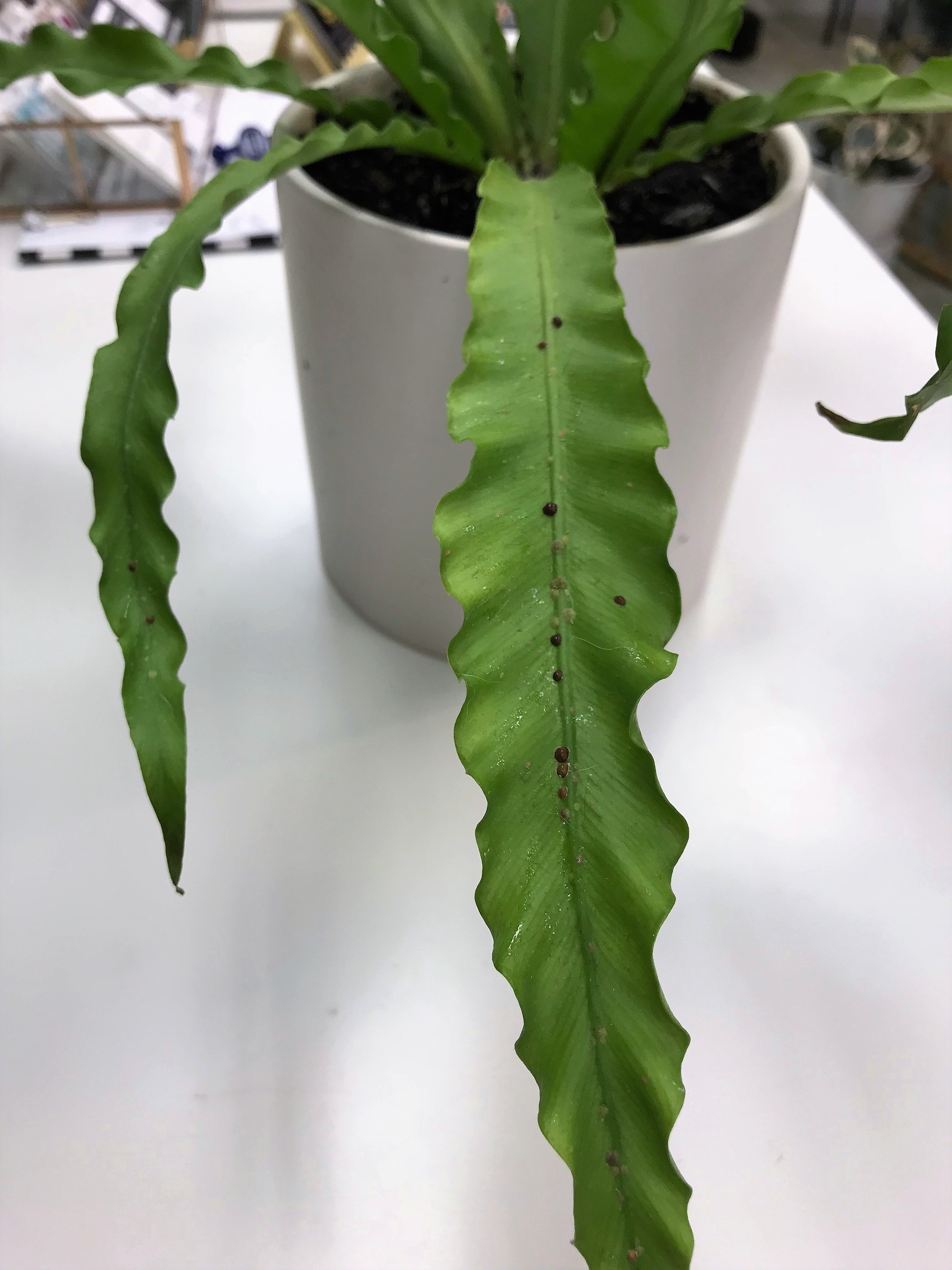 Scale - Immobile brown or black spots are clustered on leaves. Larvae are whitish and can crawl. Adults develop a hard crust and remain immobile while they suck the sap from the leaf. If caught early, spot treatment with a cotton swab dipped in alcohol. Treat with neem oil spray.