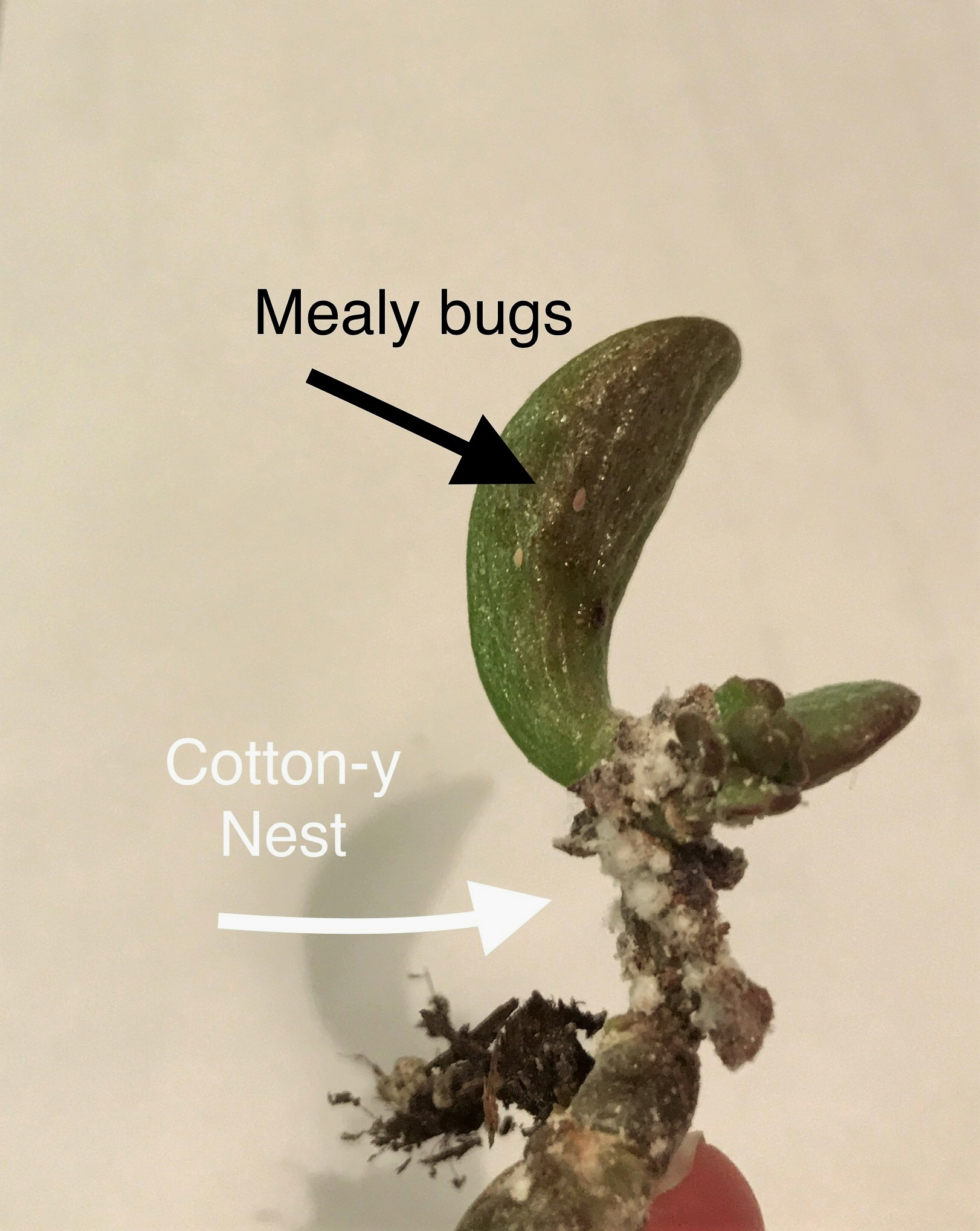 Mealy bugs - Eggs and larvae can be found at leaf and stem joints. Adults have antenna and crawl. They especially enjoy sucking sap from new growth. Depending on the size of infestation, it may be better to discard the entire plant.