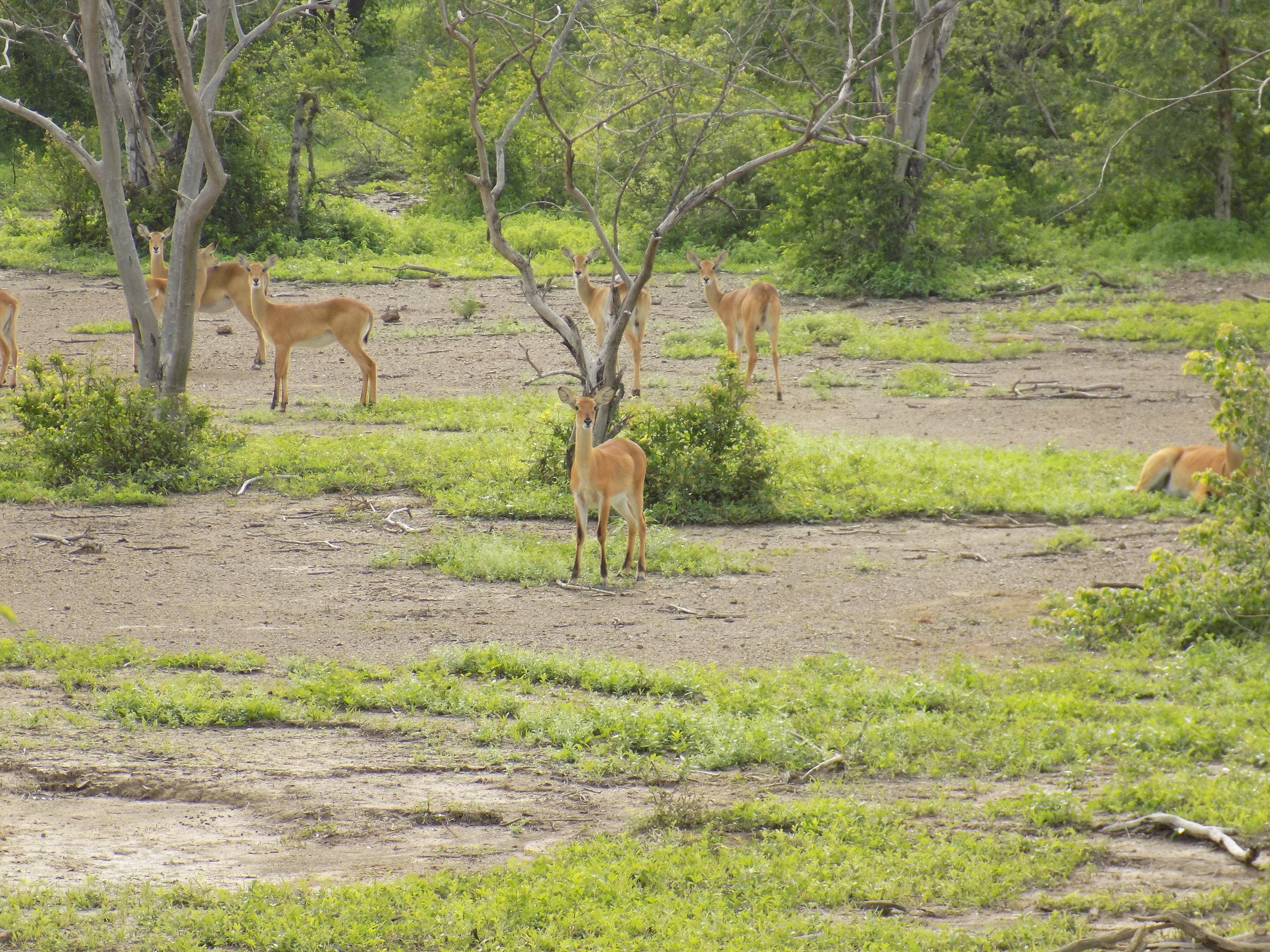 sung-taaba-gazzells-in-ghana.JPG