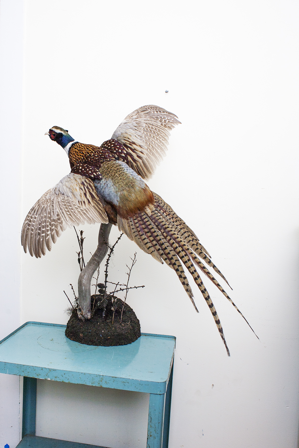 Ring Neck Pheasant Taxidermy