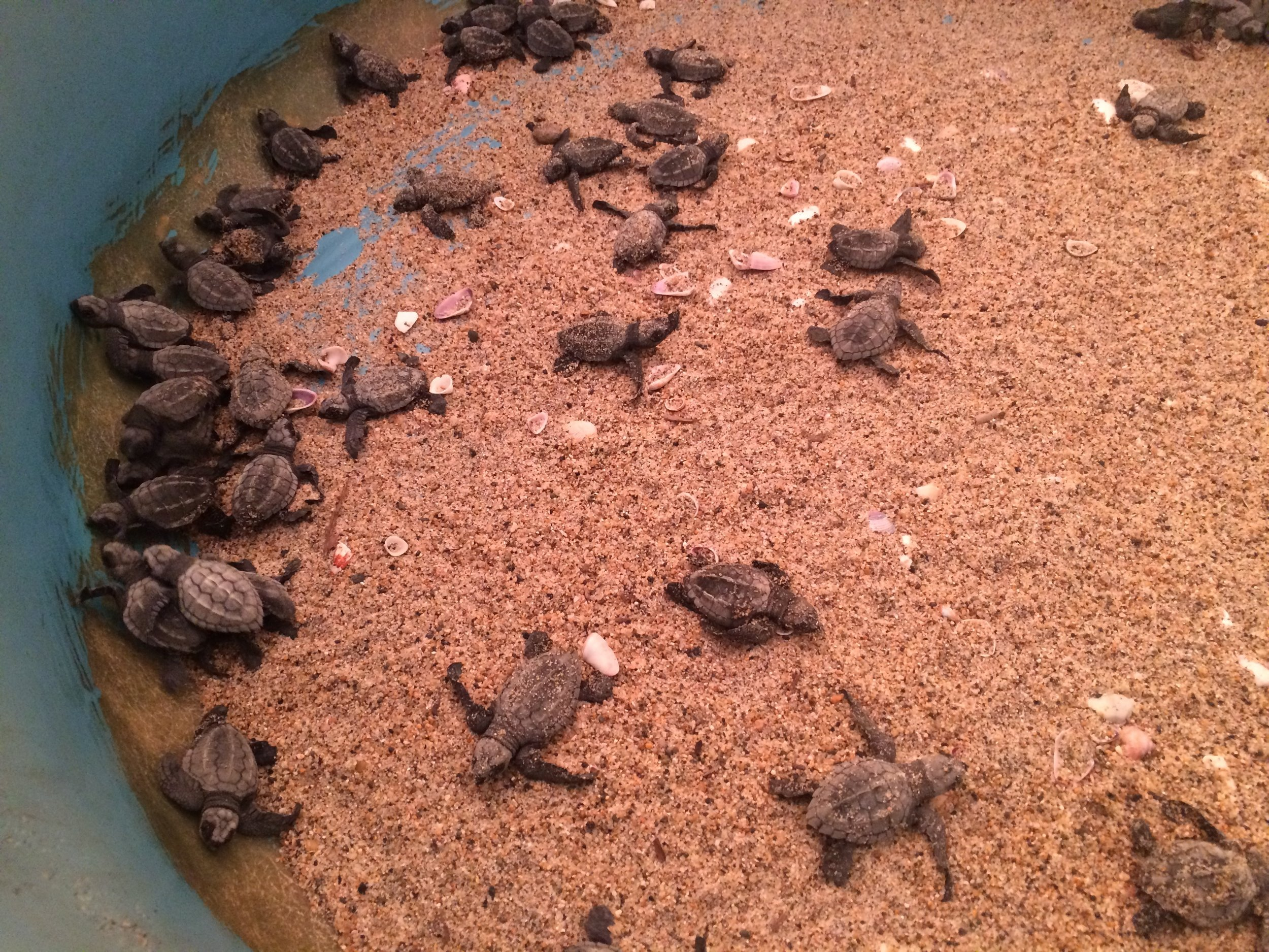 Hours-old Oliver's Ridley sea turtle hatchlings.