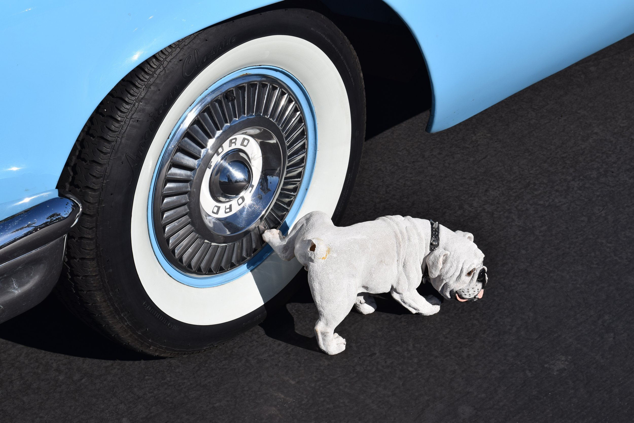 White Bulldog Peeing on a Blue Car's White Wall Tire