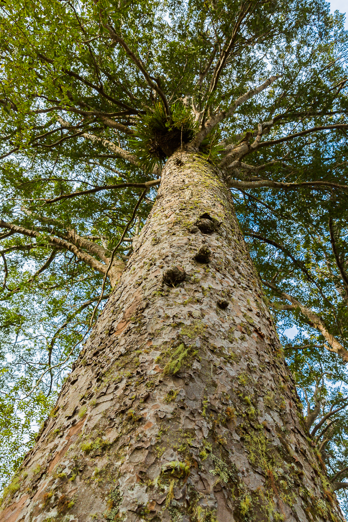 kauri-tree-endangered-dieback-new-zealand-conservation-travel-eco-two-dusty-lenses.png