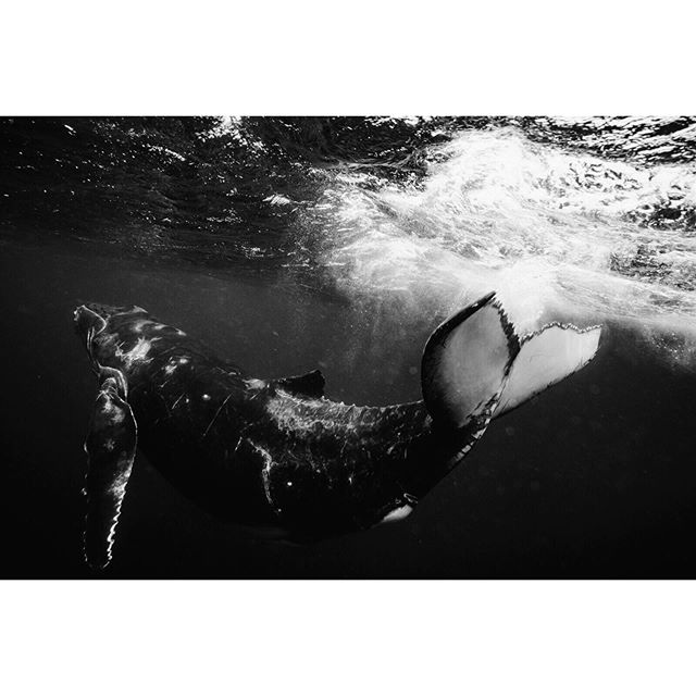 #tb - It's been just over a year since I swam with these beauties, but I still think of them often 🐳✨ . #babywhale #moceanpoet #humpbackcalf  #humpbackwhales #whale #humpback #whales #sentientbeings #marinemammals #underwateremotions #uwphotography #uwphoto #underwaterphotographer #underwaterphoto #naturelovers #olympus_au #blackandwhite #bw #olympusinspired  #presence  #tonga #freediving