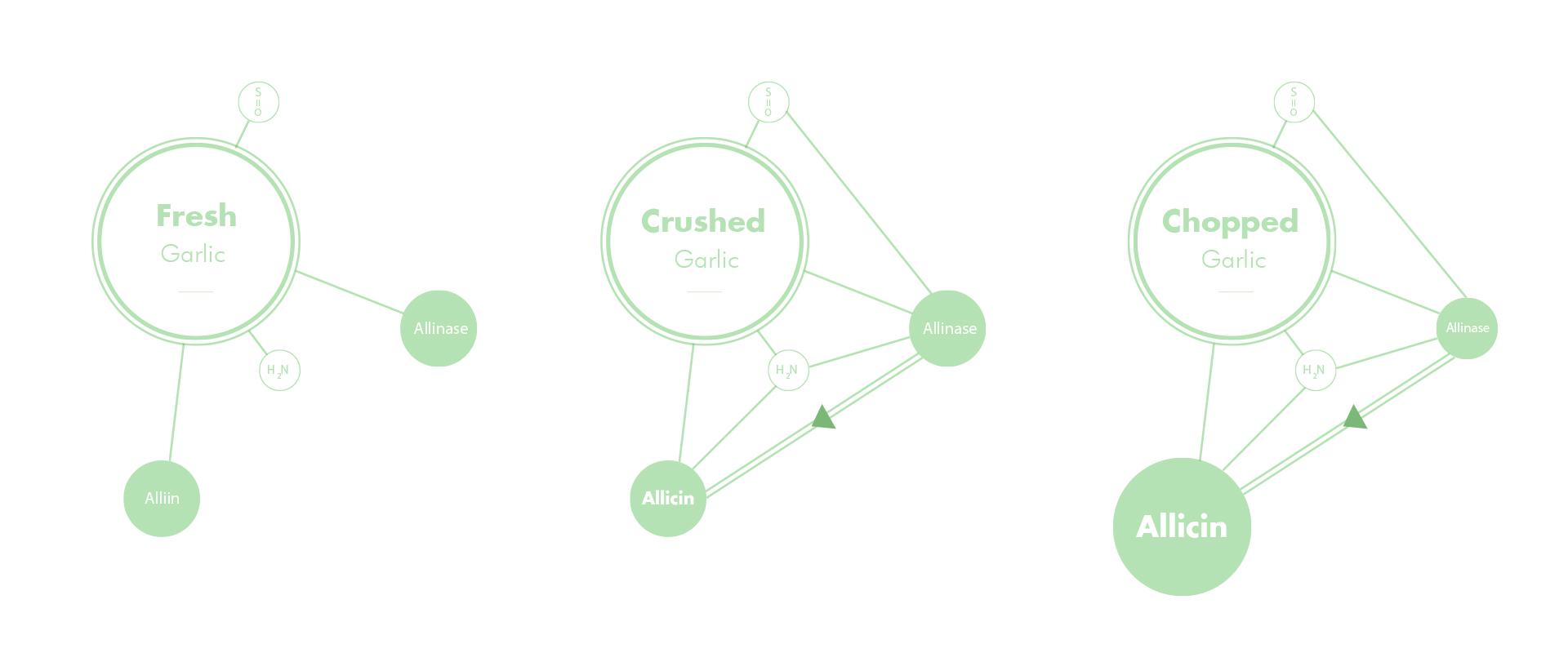 Zeal Garlic press | Diagram explaining Allicin produced to flavour garlic