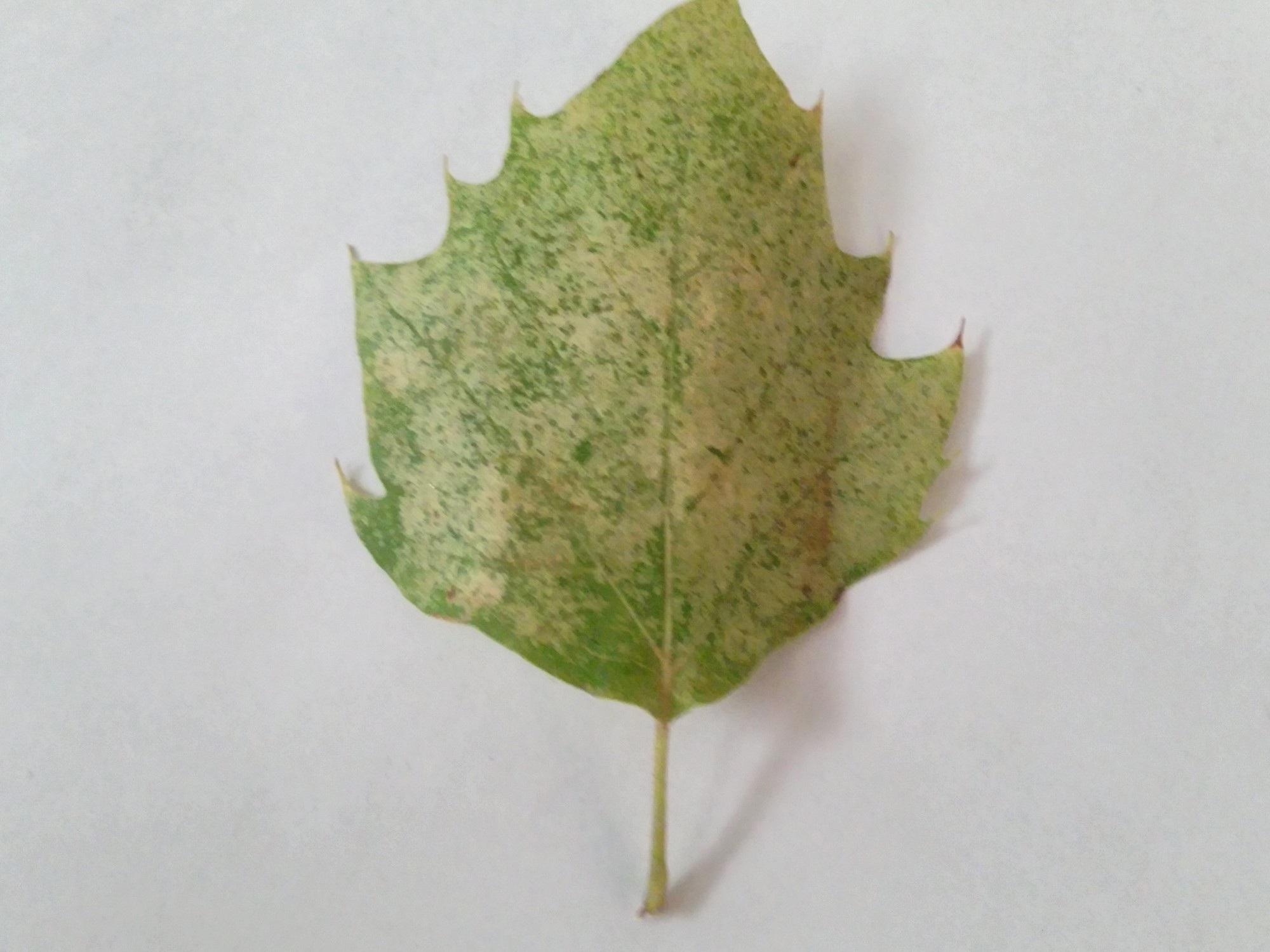 infected+leaf.jpg