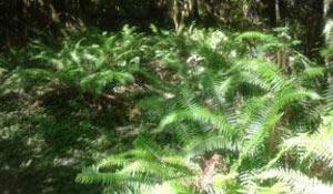 blog_olympic-forest_ferns.jpg