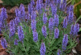 Salvia Blue Hill website.jpg