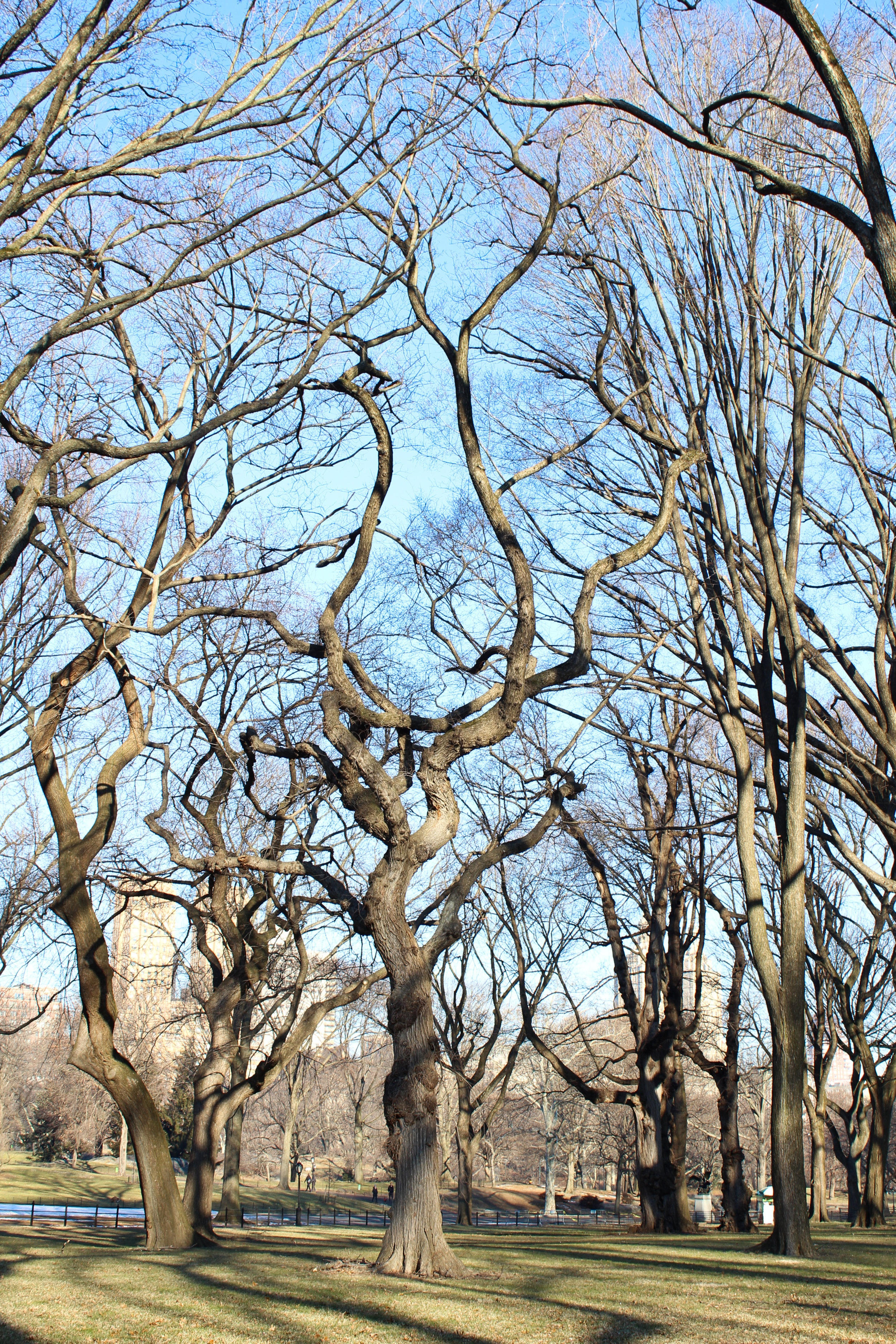 The American Elms that line the Mall