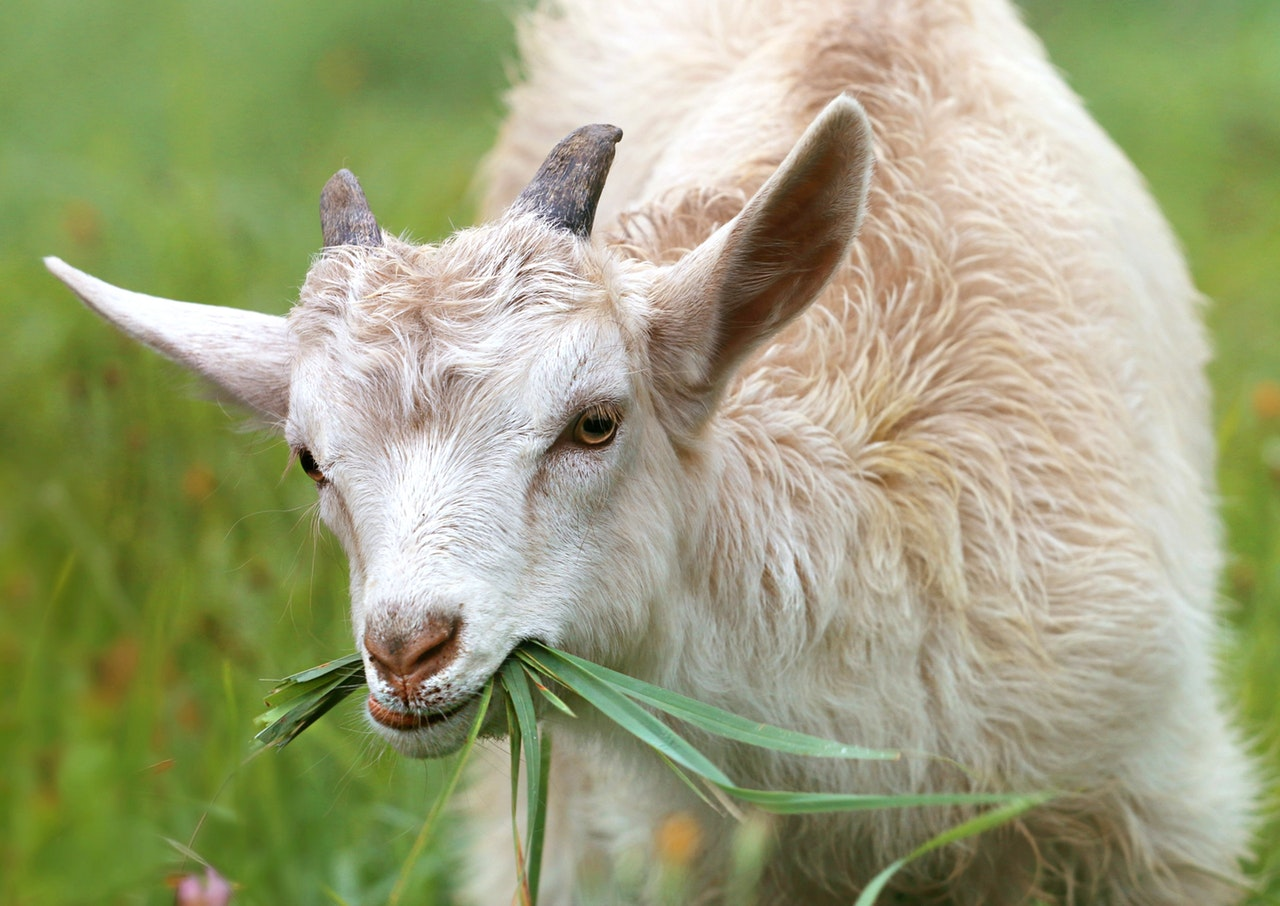 picture of a goat eating grass