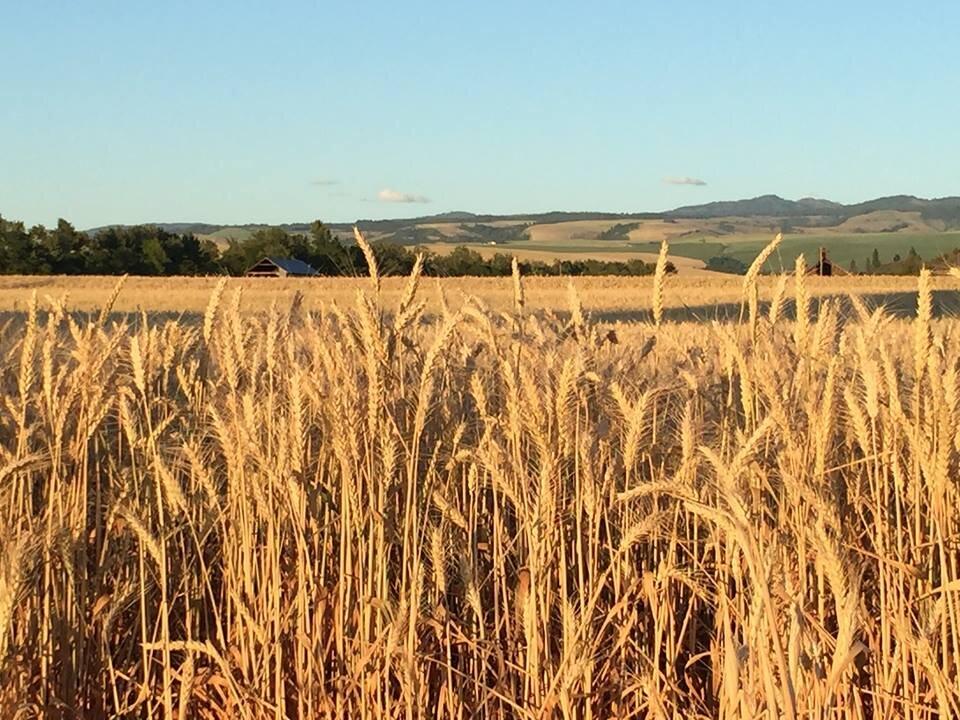 Wheat and Blues.jpg