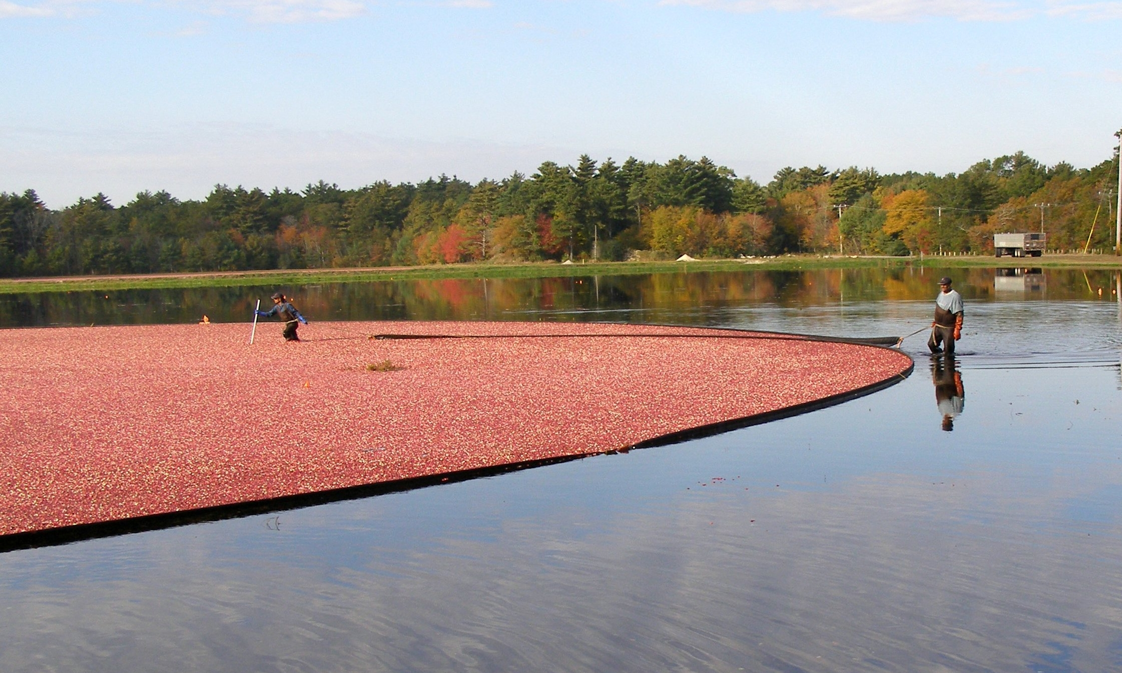Harvesting_cranberries_1.jpg