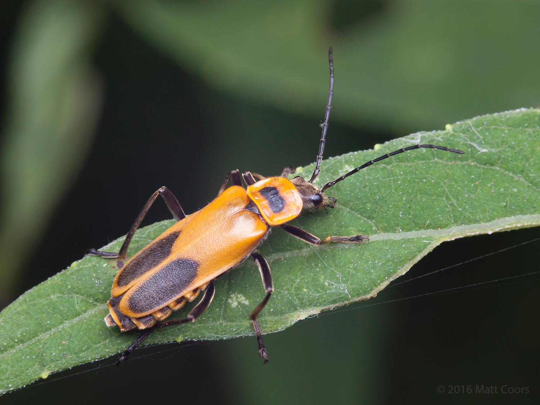 Chauliognathus-pensylvanicus-2016.jpg