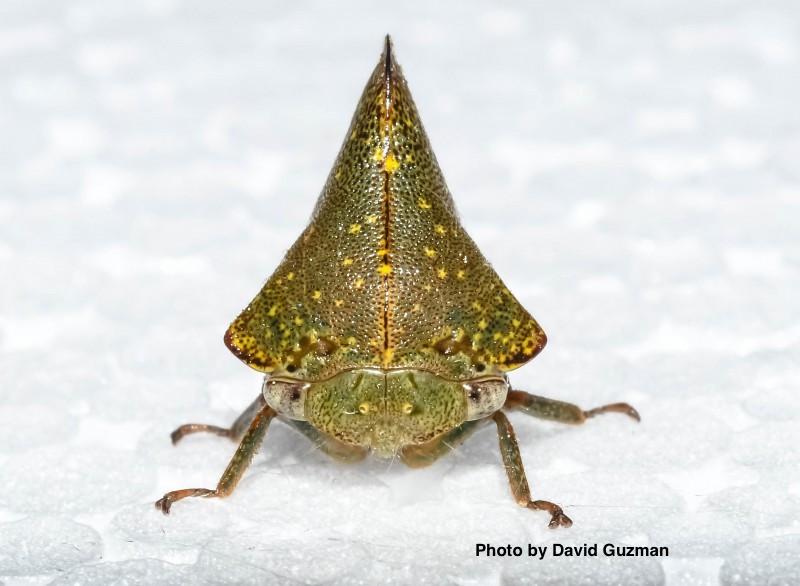 GuzmanD_hem-membracidae1-duntrune-2018-800x586.jpg