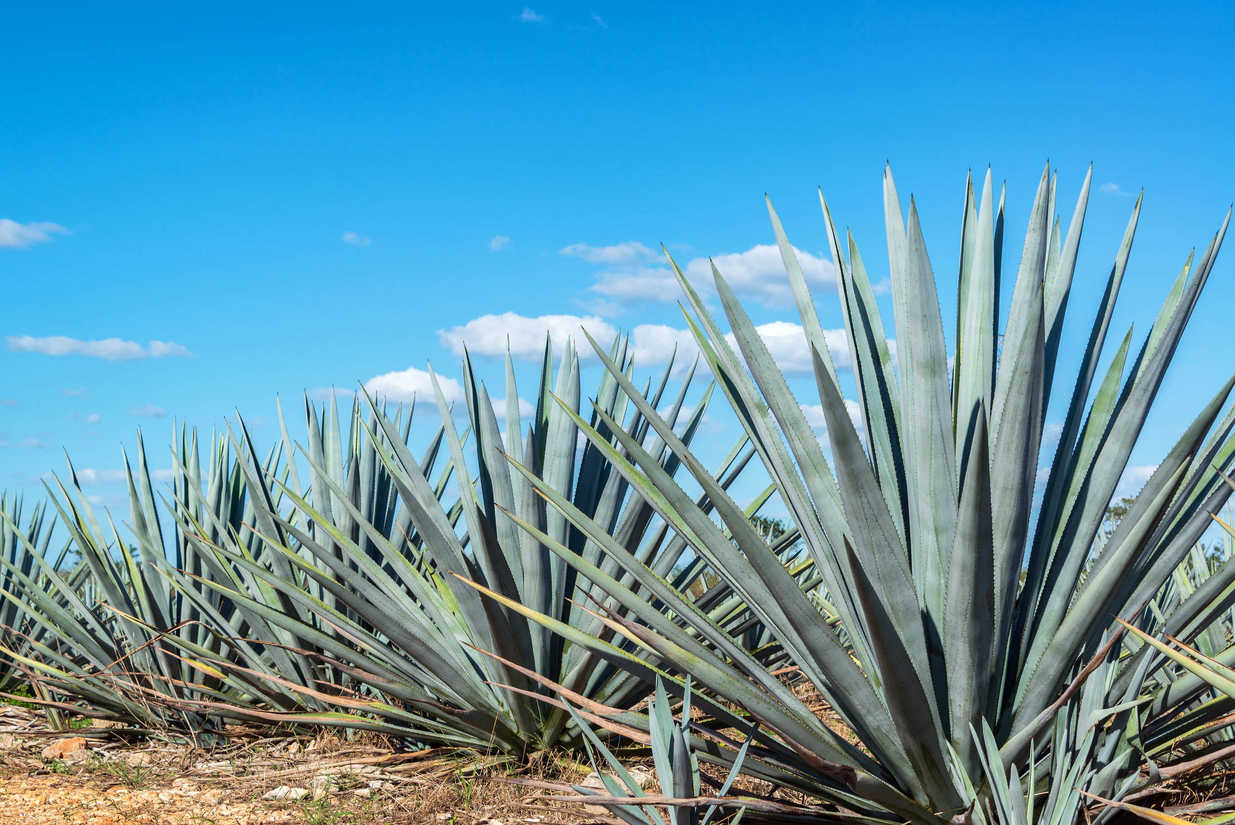 blue-agave-and-blue-sky-PS9MBVG.jpg