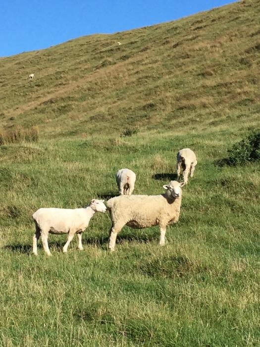 ・・かと思うと、その海岸の反対側でたわむれる羊たち