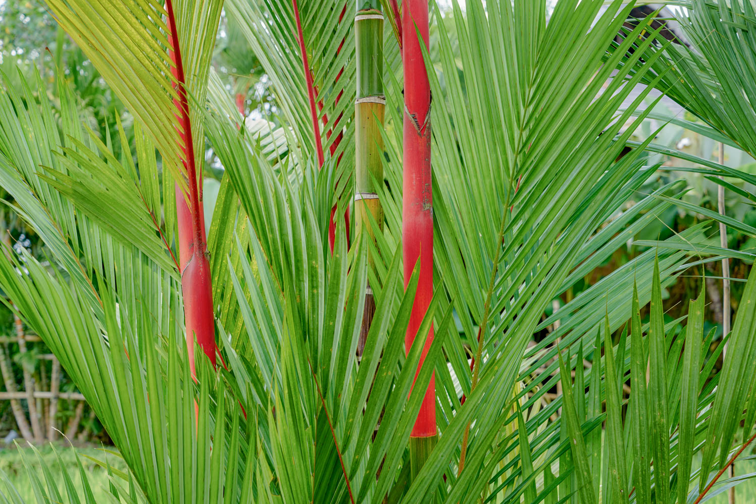 red palm ahhh !