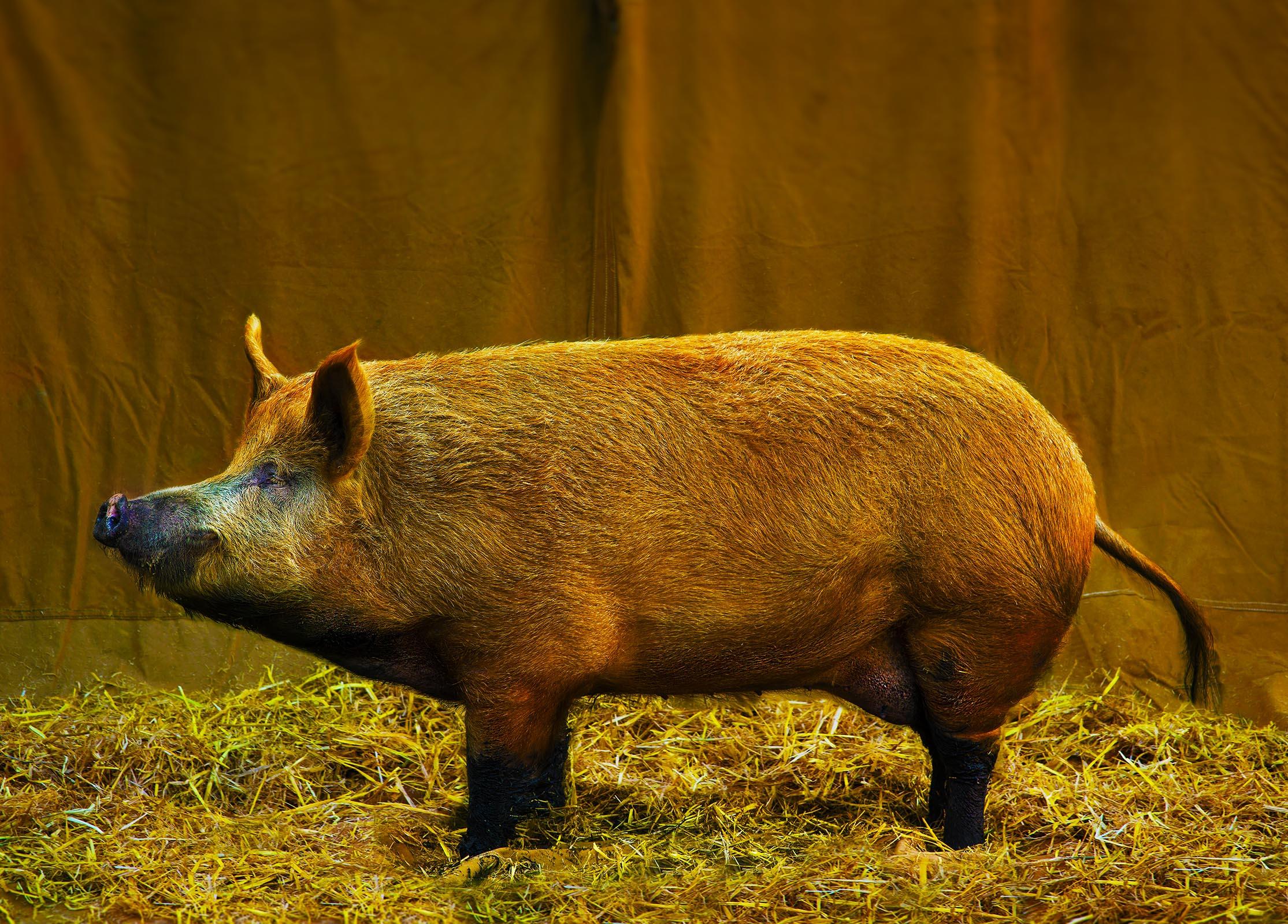 PIG DSC_4001.jpg
